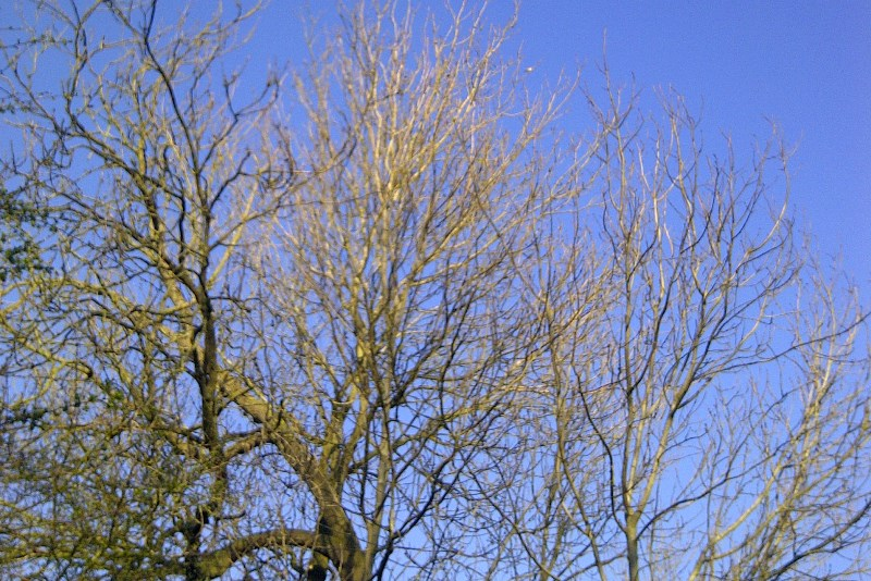 Spring trees waiting for chiffchaff