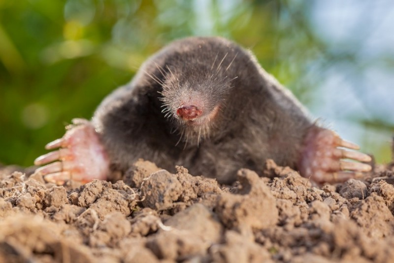 The European mole or Common Mole is a mammal of the order Soricomorpha
