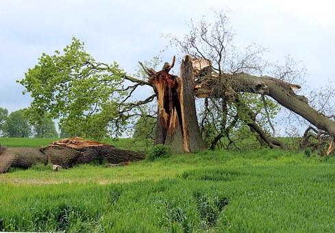 storm damaged oak